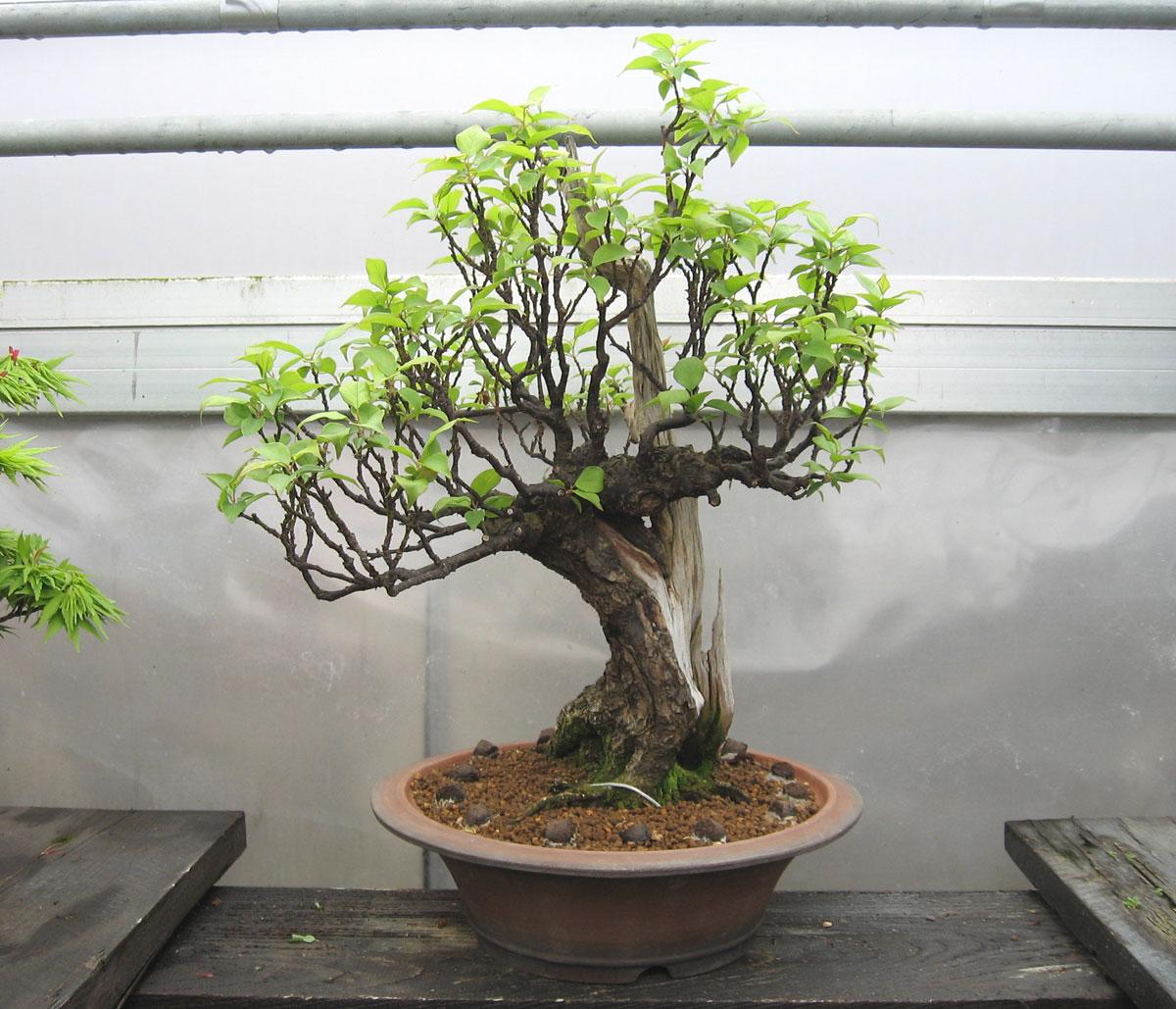 Prunus mume aprikose bonsai park remscheid for Bonsai versand