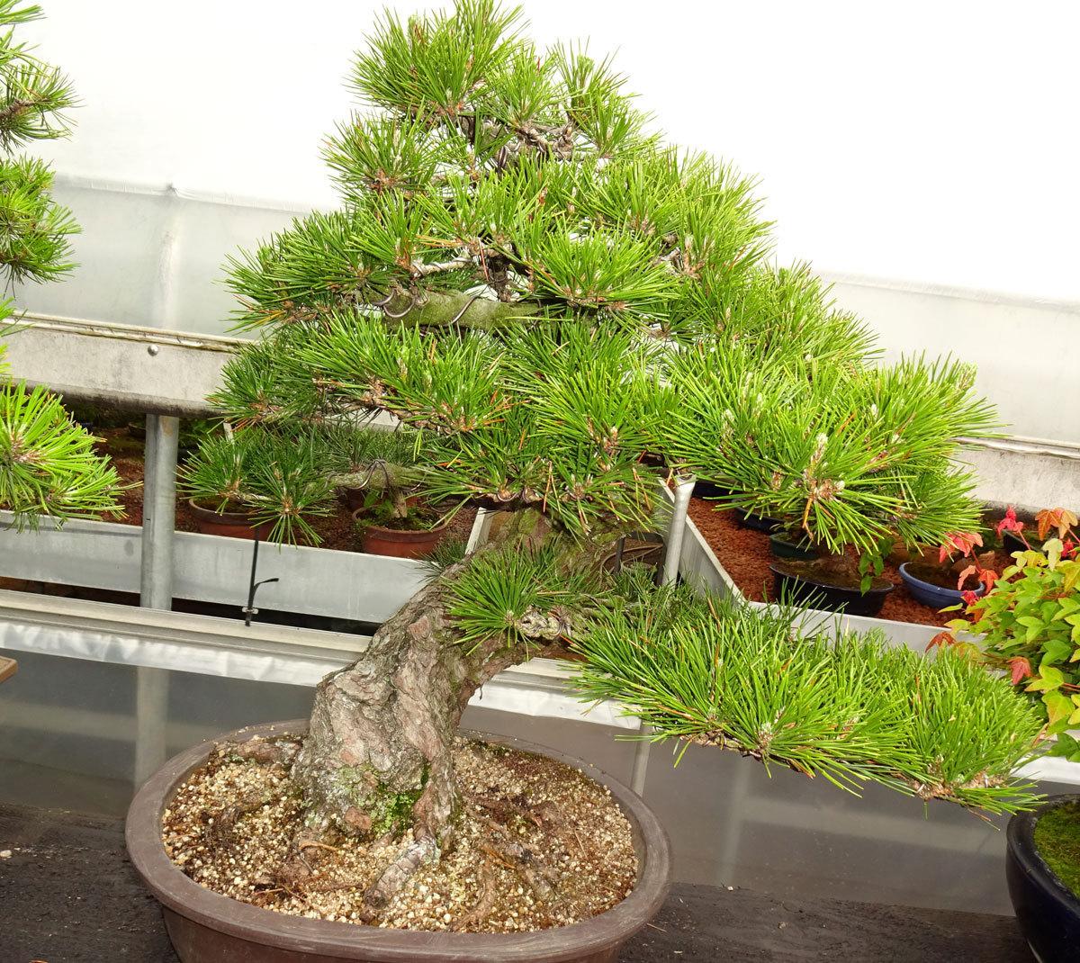 gestohlen im august 2017 schwarzkiefer bonsai park. Black Bedroom Furniture Sets. Home Design Ideas