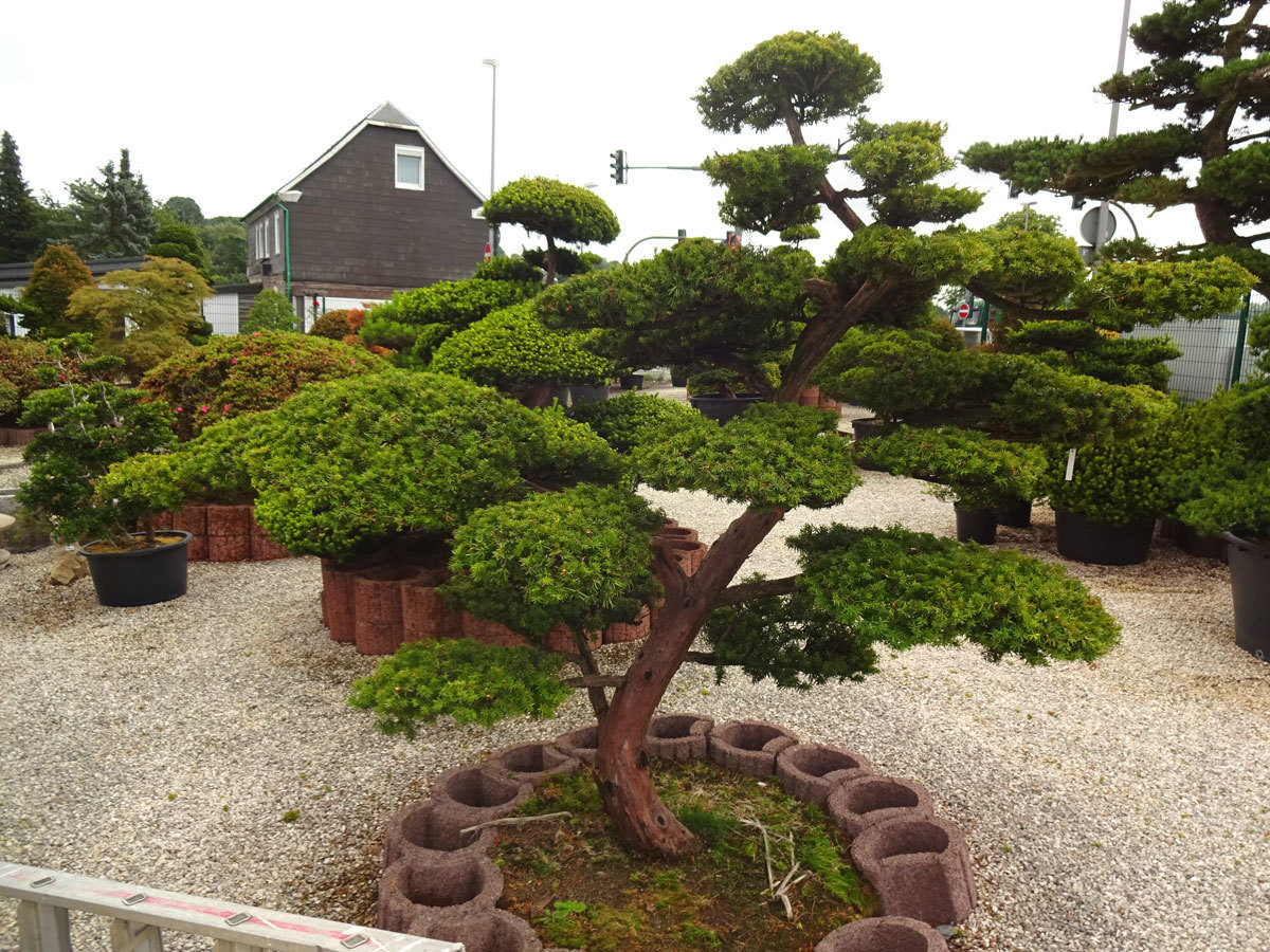 taxus cuspidata eibe formschnitt bonsai park remscheid. Black Bedroom Furniture Sets. Home Design Ideas